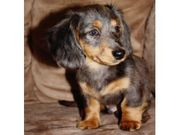 cute  daschund puppies for rehoming