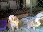 Cavoodle mix puppies