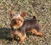 lovely  chocolate yorkie for adoption