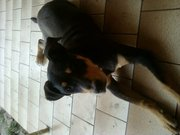 1 year old Rotti x - Needs a new home