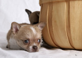 cute and lovable kid loving chihuahua puppies for  rehoming